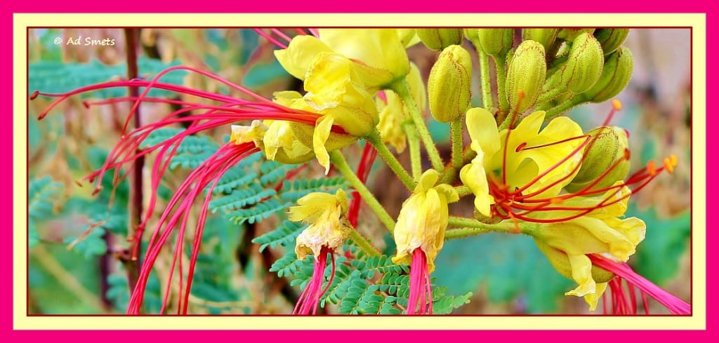 gele bloem_ad smets_4204